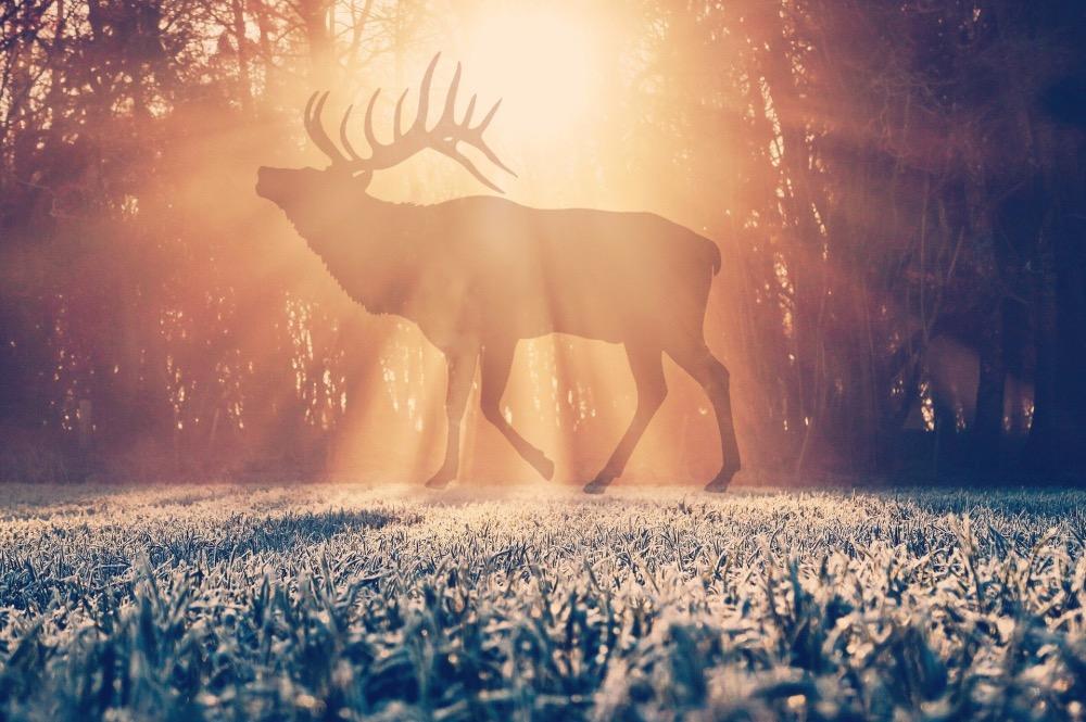 森を堂々と歩くヘラジカ